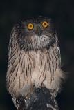 Brown Fish Owl 004