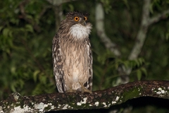 Brown Fish Owl 005