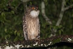 Brown Fish Owl 005