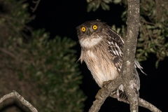 Brown Fish Owl 009