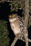 Brown Fish Owl 010