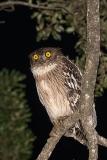 Brown Fish Owl 010