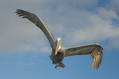 Brown Pelican 001