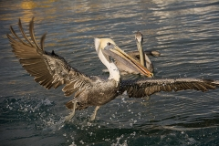 Brown Pelican 005