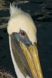 Brown Pelican 011