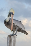 Brown Pelican 029