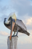 Brown Pelican 030