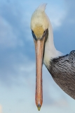 Brown Pelican 043