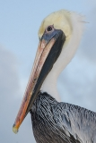 Brown Pelican 051