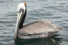 Brown Pelican 061