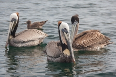 Brown Pelican 062
