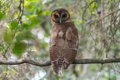 Brown Wood Owl 004