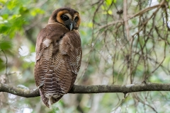 Brown Wood Owl 006