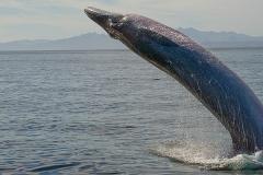 Brydes Whale 001