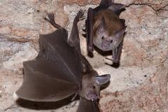 Buffy Flower Bat 004