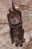 Buffy Flower Bat 005