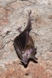 Buffy Flower Bat 011