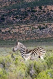 Burchell's Zebra 009