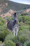 Burchell's Zebra 013