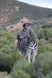 Burchell's Zebra 014