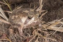 Bushveld Rain Frog 009