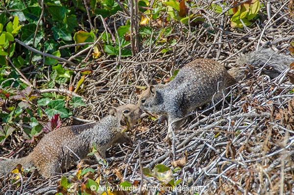California Ground Squirrel 007
