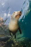 California Sea Lion 191