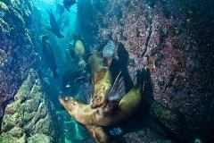 California Sea Lion 240