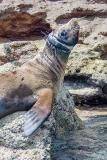California Sea Lion 259