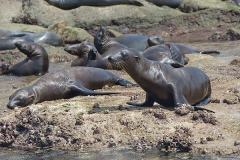 California Sea Lion 277
