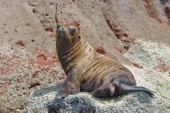 California Sea Lion 282