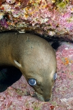 California Sea Lion 308