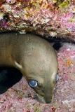 California Sea Lion 308