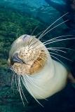 California Sea Lion 315