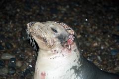 Californian Sea Lion shark attack 003