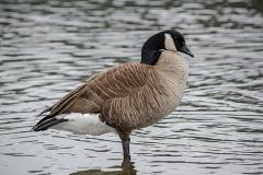 Canada Goose 002