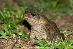 Cane Toad 001