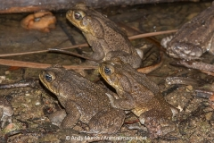 Cane Toad 003