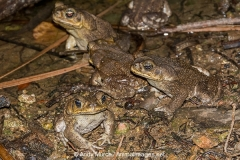 Cane Toad 004