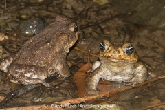 Cane Toad 009