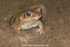 Cane Toad 011