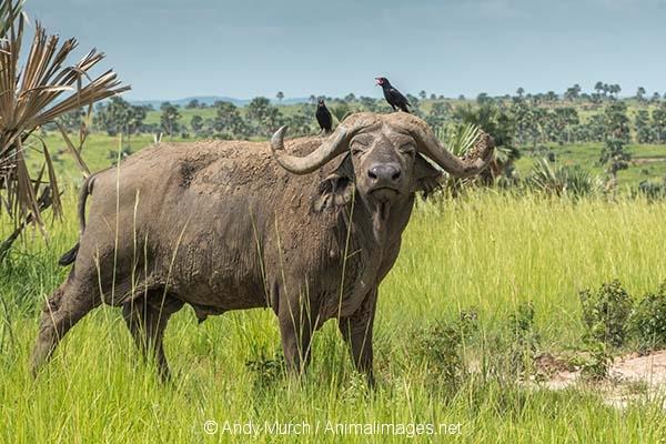 Cape Buffalo 015