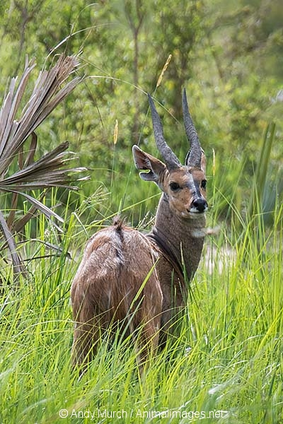 Cape Bushbuck 001