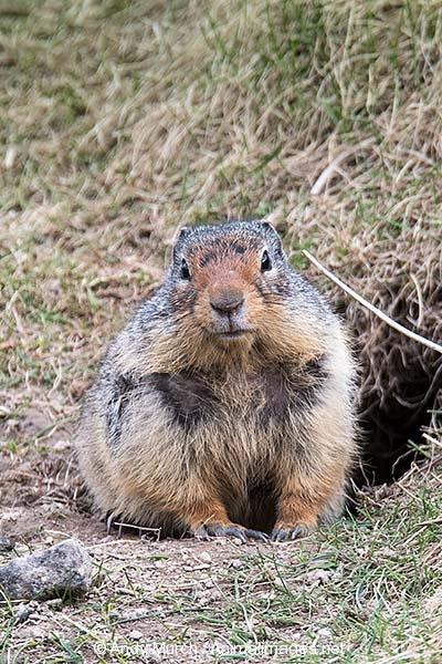 Columbian Ground Squirrel 004