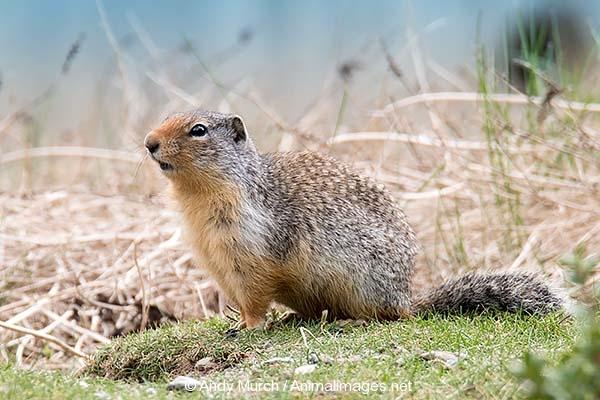 Columbian Ground Squirrel 009
