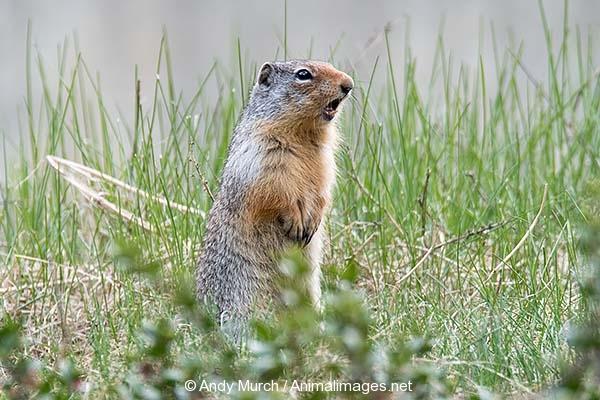 Columbian Ground Squirrel 012