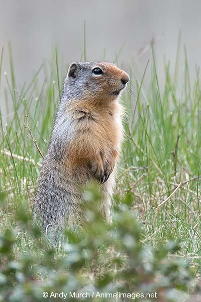 Columbian Ground Squirrel 013