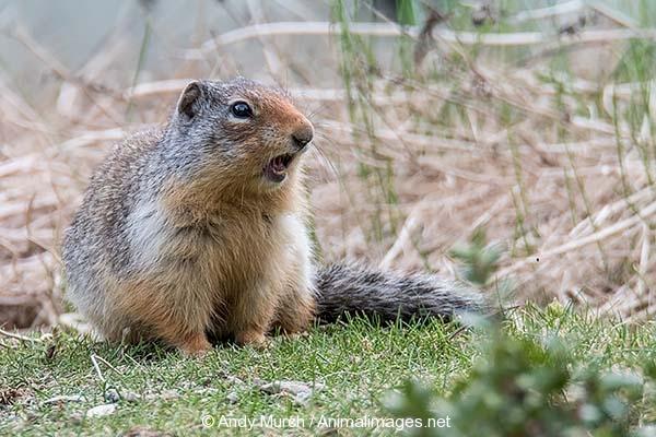 Columbian Ground Squirrel 014