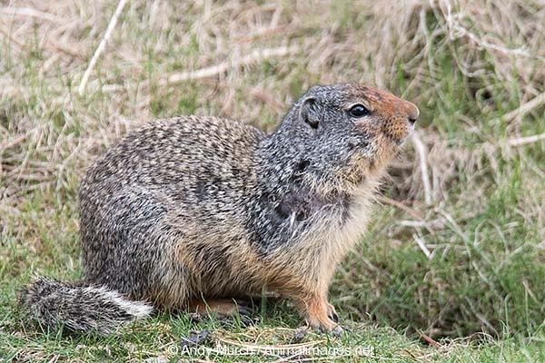 Columbian Ground Squirrel 015
