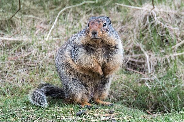 Columbian Ground Squirrel 019